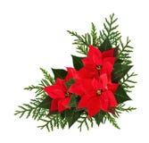 圣诞节红色一品红开花壁角安排 免版税库存照片