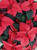 圣诞节红色一品红植物 库存照片