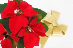 圣诞节红色一品红花和金丝带 免版税库存照片