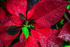 圣诞节红色背景花poinsety墙纸 免版税库存照片