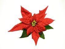 圣诞节红色花的一品红 库存照片