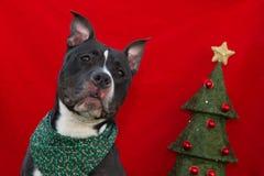 圣诞节美国斯塔福德郡狗 库存照片