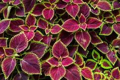 圣诞节花、一品红与绿色和褐色叶子背景的 库存照片