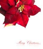 圣诞节花一品红 库存图片