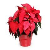 圣诞节花星形 库存图片