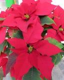 圣诞节花-圣诞节罗斯-典型的花为这个假日 库存照片