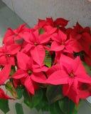 圣诞节花-圣诞节罗斯-典型的花为这个假日 免版税库存照片