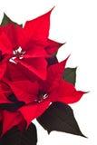 圣诞节花 免版税图库摄影