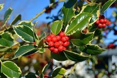 圣诞节莓果和绿色杂色的地方教育局冬青树特写镜头  库存照片