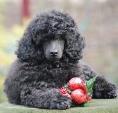 圣诞节装饰长卷毛狗小狗新年快乐 库存图片