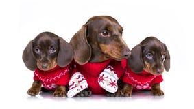 圣诞节达克斯猎犬小狗 免版税库存图片