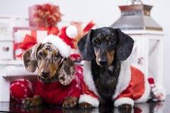 圣诞节达克斯猎犬狗 图库摄影