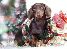 圣诞节达克斯猎犬狗 免版税库存图片
