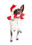 圣诞节运载藤的藤茎玩具的圣诞老人狗 免版税库存照片