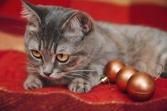 圣诞节逗人喜爱的猫使用与圣诞节球 方格的红色格子花呢披肩 免版税库存图片