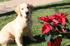 圣诞节金毛猎犬 库存照片