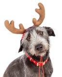 圣诞节驯鹿狗特写镜头 免版税图库摄影