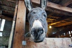 圣诞节驴在槽枥 免版税库存图片