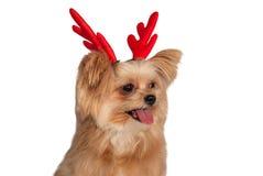 圣诞节鹿角狗 库存图片