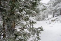 圣诞节,多雪的杉木美好的风景与雾,口岸的  免版税库存照片