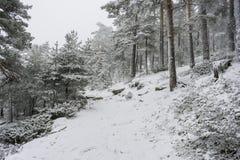 圣诞节,多雪的杉木美好的风景与雾,口岸的  免版税库存图片
