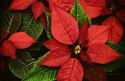 圣诞节 一品红的细节 图库摄影