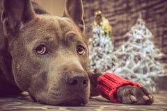 圣诞节liying和观看对我们的狗鹿 库存照片