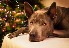 圣诞节liying和观看对我们的狗鹿 免版税库存照片