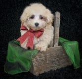 圣诞节Malti-Poo小狗 库存图片