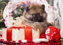 圣诞节Pomeranian波美丝毛狗小狗 免版税库存图片