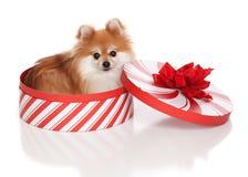 圣诞节Pomeranian 免版税库存照片