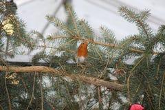 圣诞节Robin 免版税库存照片
