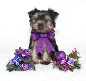 圣诞节Yorkie小狗。 免版税库存图片