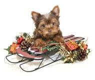 圣诞节Yorkie小狗 免版税库存图片