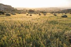 圣费尔南多谷Fiddleneck野花草甸 免版税库存图片