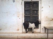 圣洁山羊 免版税图库摄影