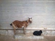 圣洁山羊 免版税库存图片