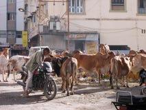 圣洁母牛和废物在朱纳格特/印度 库存图片