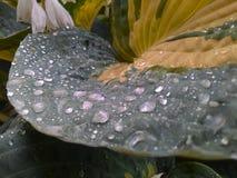 在а玉簪属植物叶子的水滴 免版税库存图片