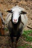 在ŠUMAVA的绵羊 免版税库存图片