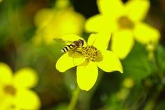 在'毛茛属的'黄蜂 图库摄影
