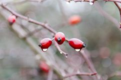在一下雨天期间,湿植物,包括用雨珠,桃红色色 免版税库存照片