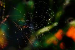 在一个万维网的蜘蛛与露水 库存图片