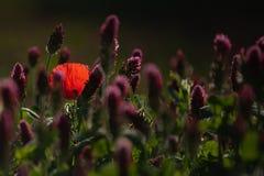 在一个三叶草领域的孤立鸦片在背后照明 免版税库存图片
