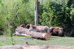 在一个下落的树干附近的一头驴,几乎没有可看见的骆驼在背景中 库存图片