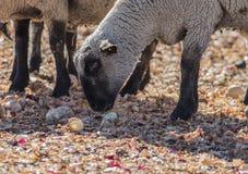 在一个五颜六色的牧场地吃葱的绵羊 免版税图库摄影