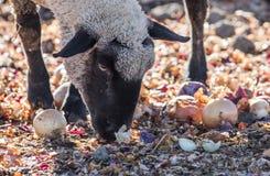 在一个五颜六色的牧场地吃葱的绵羊 库存图片