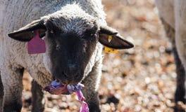 在一个五颜六色的牧场地吃葱的绵羊 库存照片