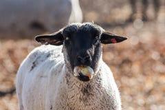 在一个五颜六色的牧场地吃葱的绵羊 免版税库存照片