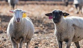 在一个五颜六色的牧场地吃葱的绵羊 图库摄影